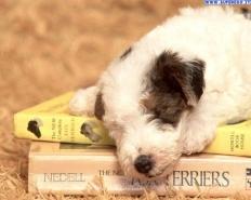 5d917f34820345f23ea08c56b90a5b0f--wirehaired-fox-terrier-baby-foxes.jpg