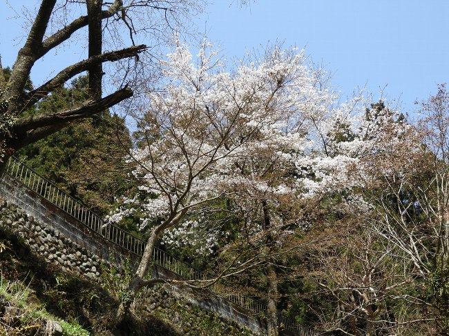 f ケーブル下バス停の桜