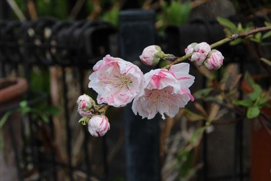 花桃 キメラ1