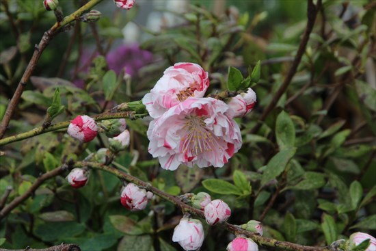 花桃 キメラ