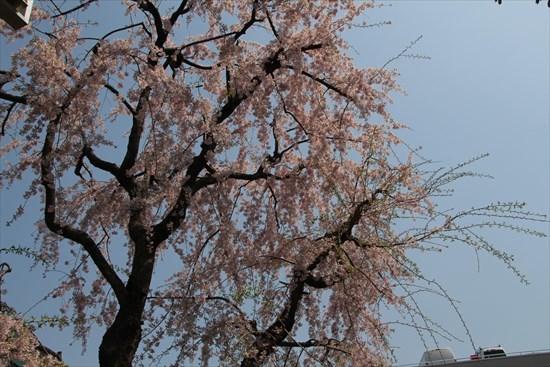 枝垂れ桜 一重2