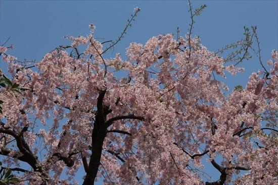 枝垂れ桜 一重1