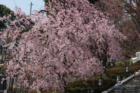 紅枝垂れ桜1