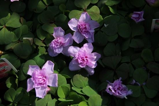バラ咲きオキザリス・オックスローズ1