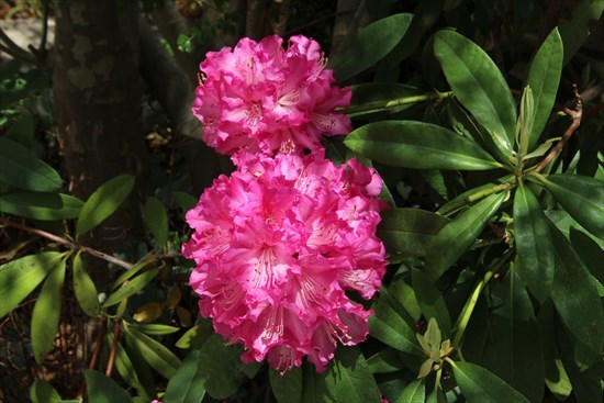 西洋石楠花1 (2)