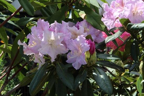 西洋石楠花
