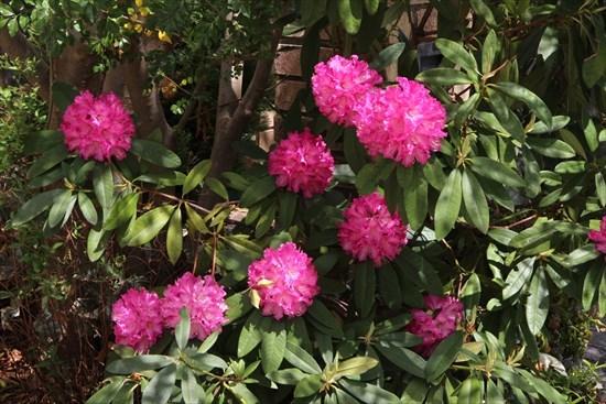 西洋石楠花2