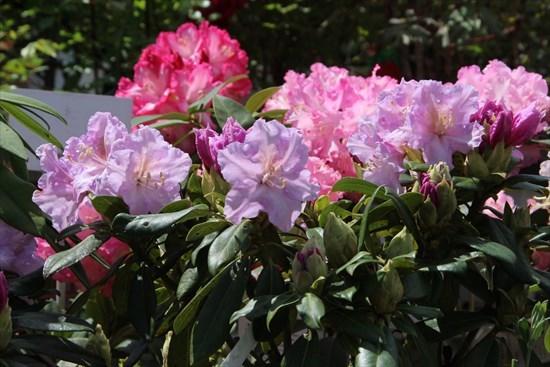 西洋石楠花1