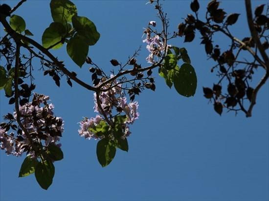 桐の花1_R