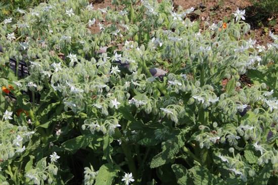 ニゲル 白花1