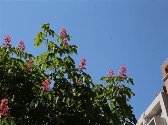 紅花トチノキ1_R