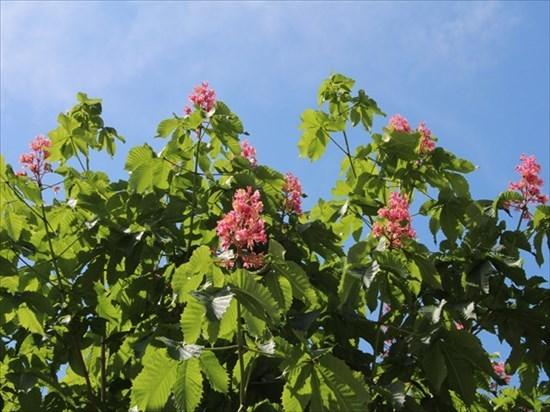 紅花トチノキ2_R