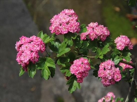 紅花サンザシ1_R