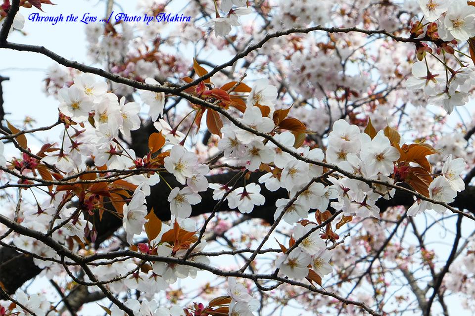アラシヤマ(桜)TZ1