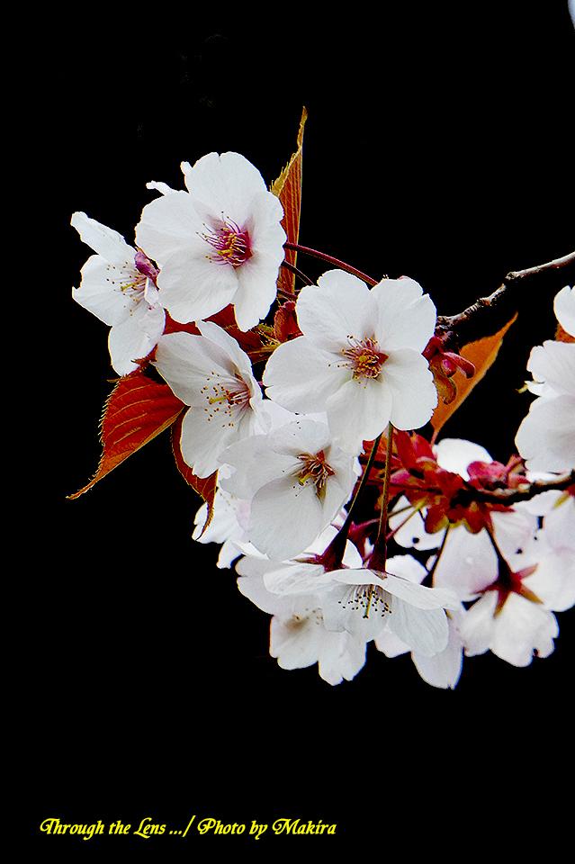 アラシヤマ(桜)TZ2