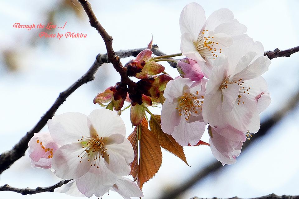 アラシヤマ(桜)TZ4