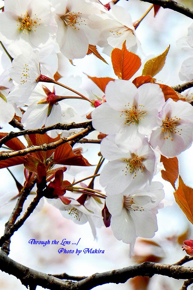 アラシヤマ(桜)TZ3