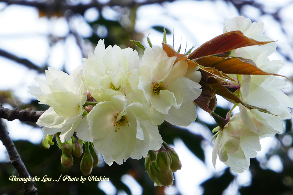ウコン(桜)TZ1
