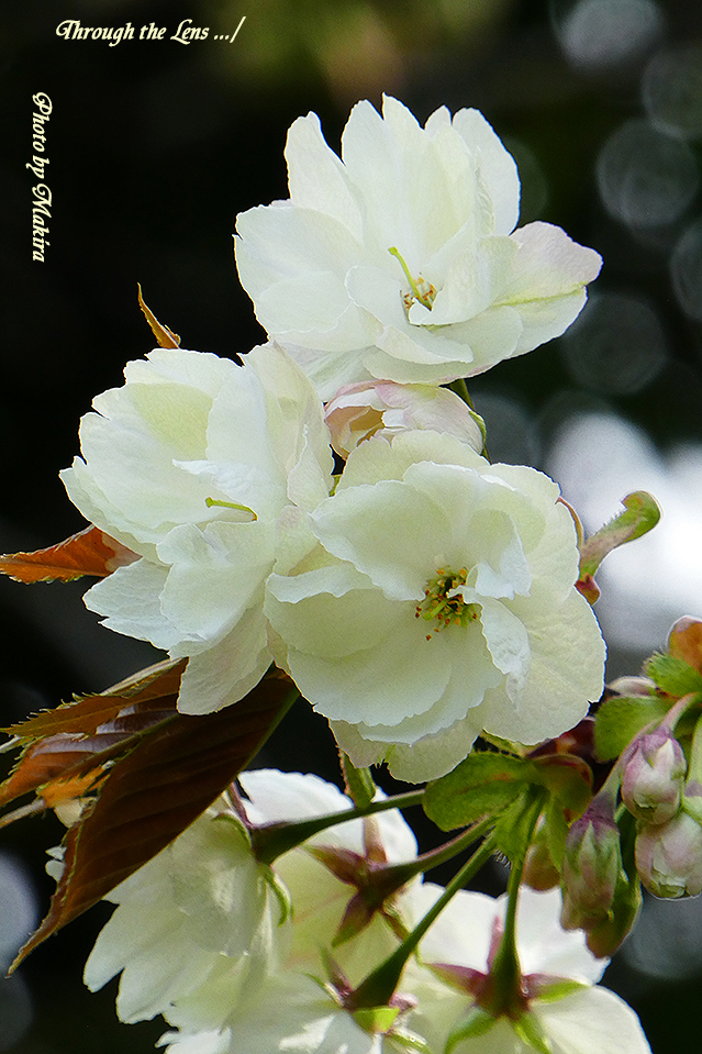 ウコン(桜)TZ2