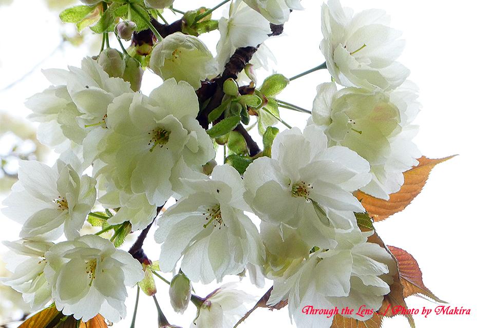 ウコン(桜)TZ4