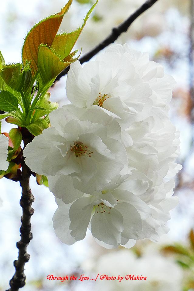 シロタエ(桜)TZ1