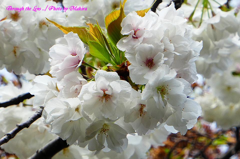 シロタエ(桜)TZ2