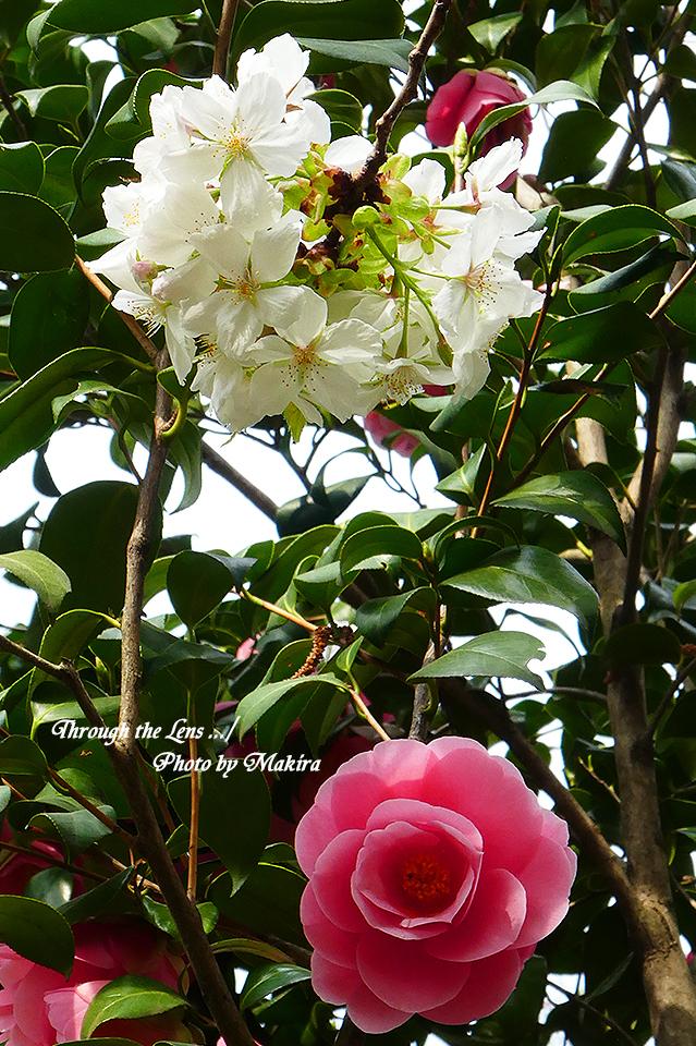 タイハク(桜)と椿TZ1