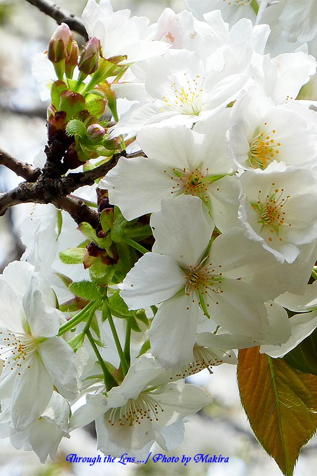 タイハク(桜)TZ3