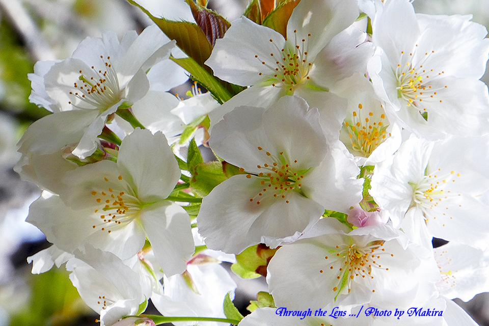 タイハク(桜)TZ4