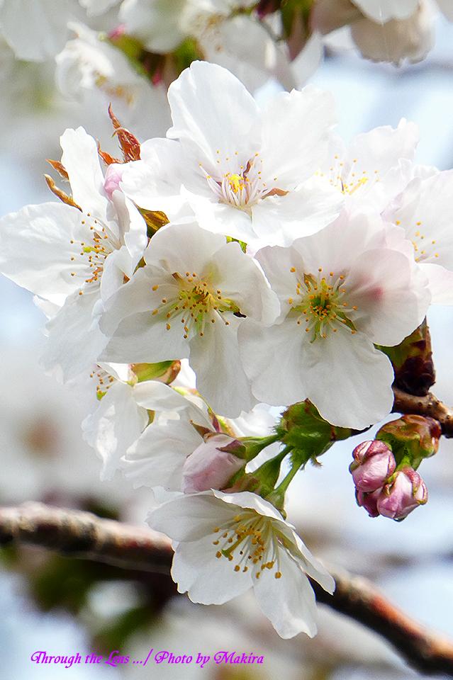 ダイミン(桜)TZ1