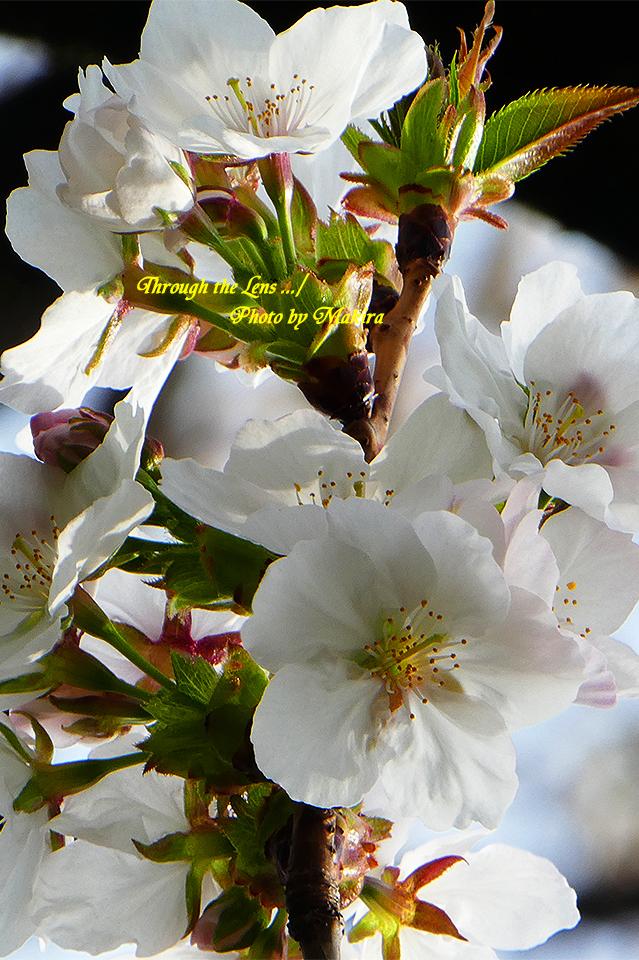 ダイミン(桜)TZ2