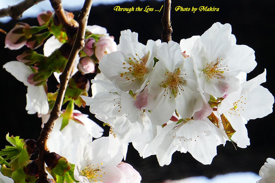 ダイミン(桜)TZ3