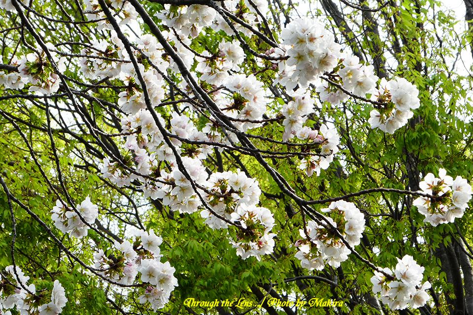 ダイミン(桜)TZ4