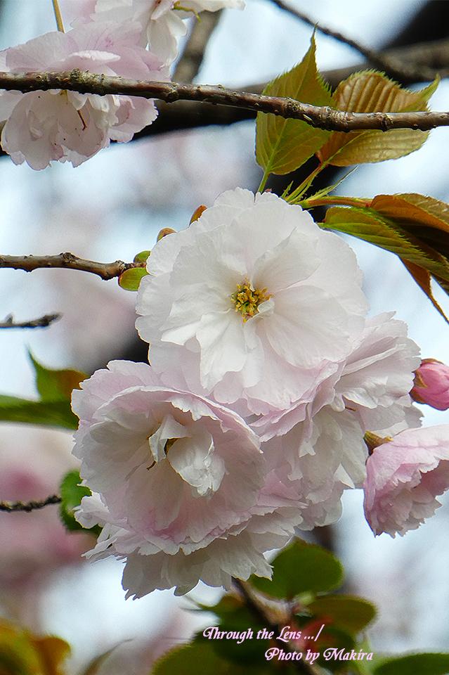 イチヨウ(桜)TZ2