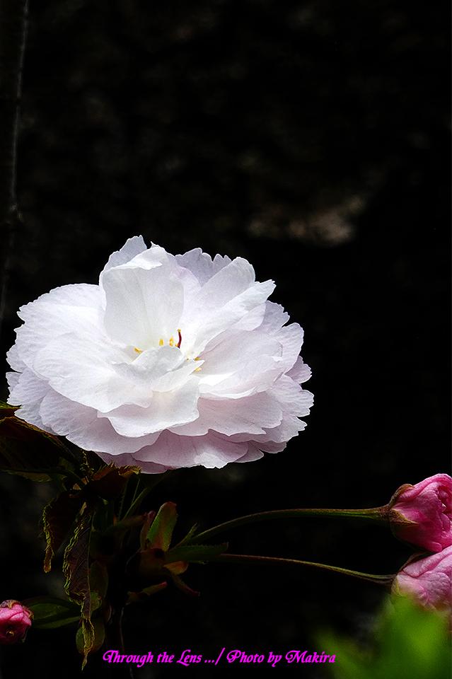 イチヨウ(桜)TZ1