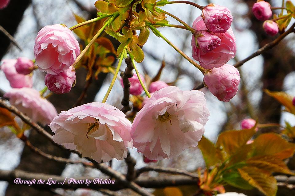 イチヨウ(桜)TZ5