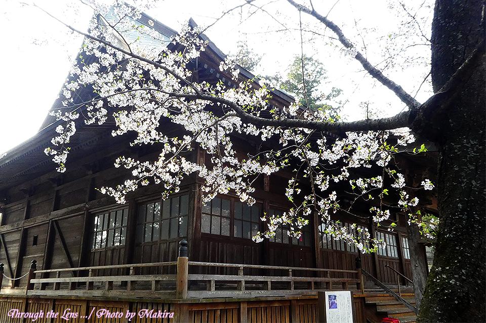 西蓮寺桜TZ2