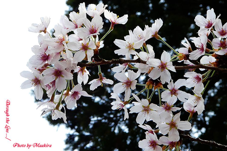 西蓮寺桜TZ3