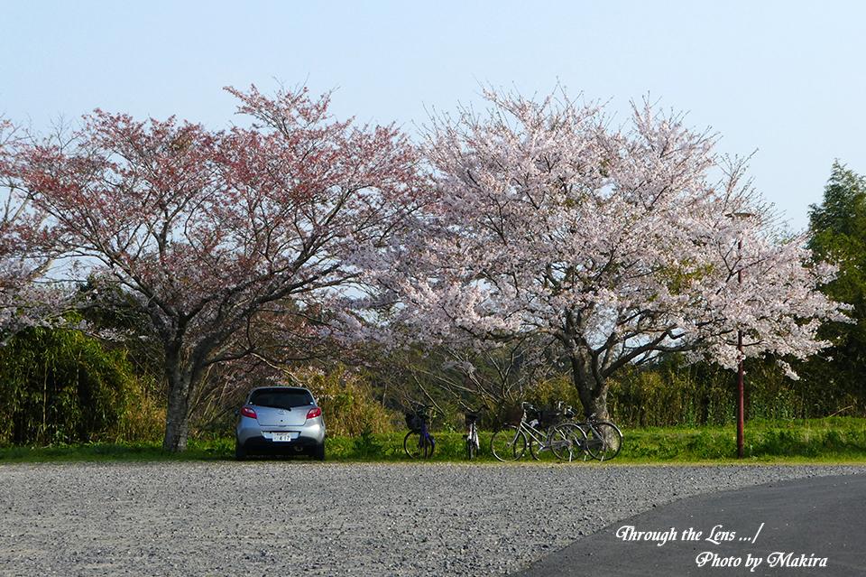 西蓮寺桜TZ8
