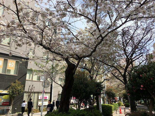 2017年4月12日の桜 by占いとか魔術とか所蔵画像