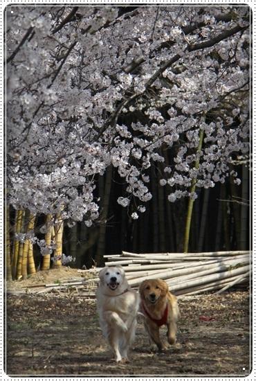 2018,4,3桜5