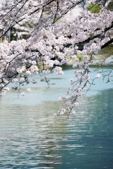 2018_kyoto_sakura_11.jpg