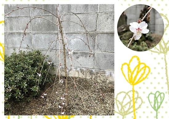 枝垂れ桜 39