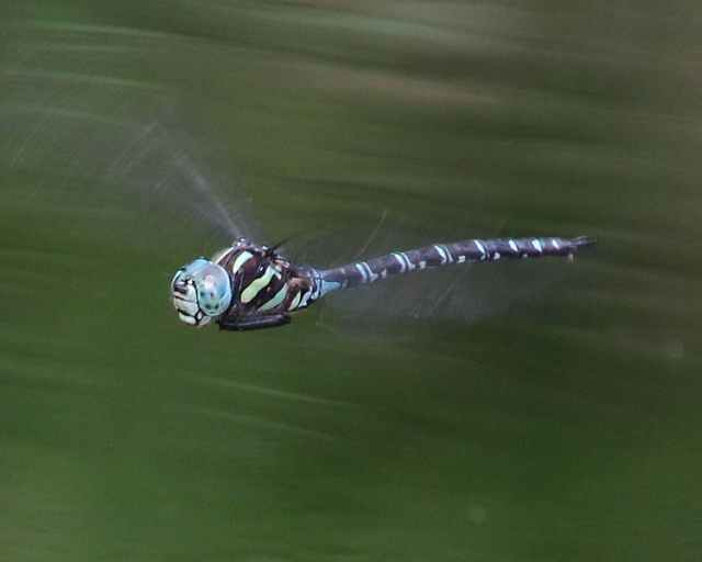 Aeshna_crenata_(male_in_flight_s2).jpg