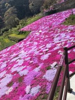 ゆう ぶろぐ 芝桜1