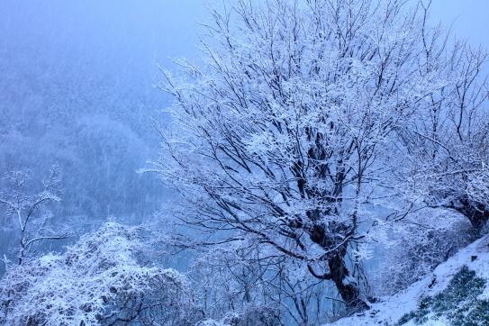 梅の古木に降雪