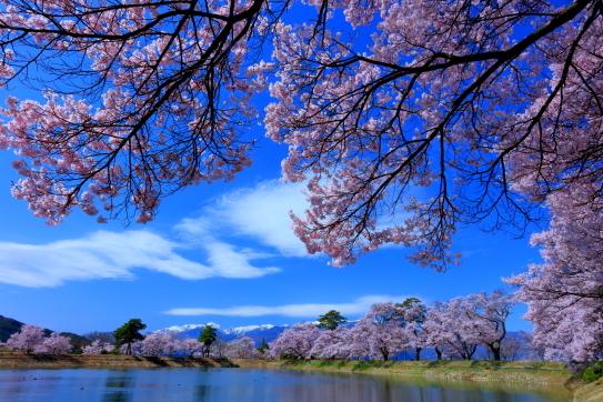 伊那市六道ノ堤の桜並木と残雪の空木岳