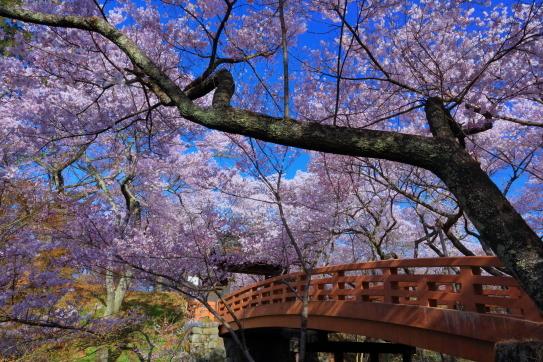 高10城址公園桜雲橋の桜