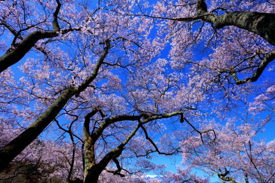 高遠城址公園の桜と白銀の西駒ヶ岳遠く