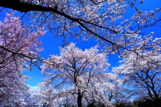 桜越しの桜